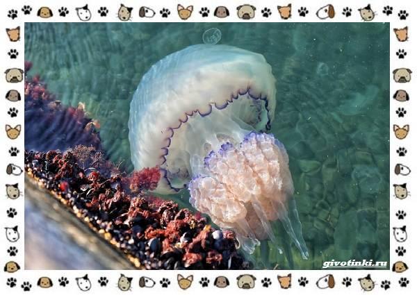 Виды-медуз-описания-названия-образ-жизни-и-среда-обитания-25