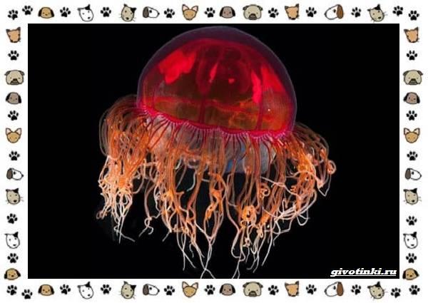 Виды-медуз-описания-названия-образ-жизни-и-среда-обитания-7
