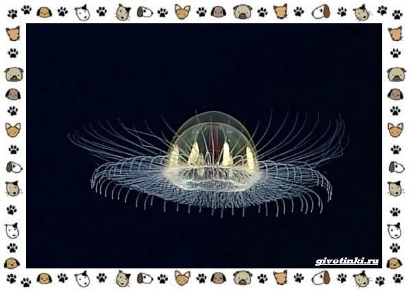 Виды-медуз-описания-названия-образ-жизни-и-среда-обитания-8