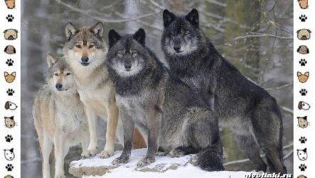 Виды волков от древних до современных