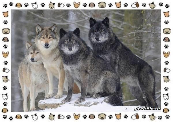 Виды-волков-от-древних-до-современных-1