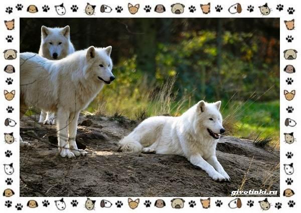 Виды-волков-от-древних-до-современных-11