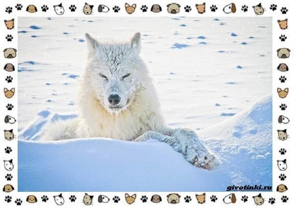 Виды-волков-от-древних-до-современных-12