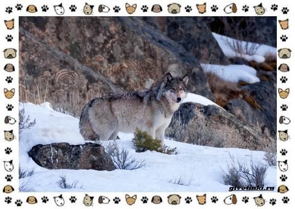 Виды-волков-от-древних-до-современных-13