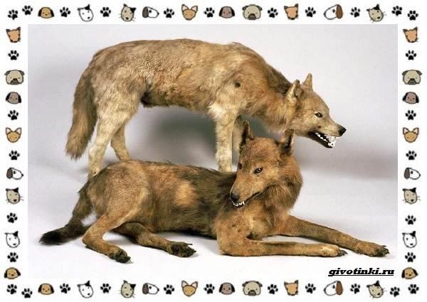 Виды-волков-от-древних-до-современных-15