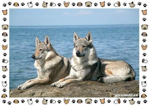 Виды-волков-от-древних-до-современных-16