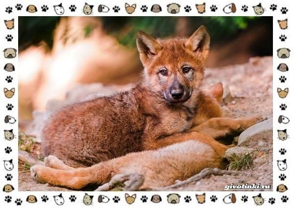 Виды-волков-от-древних-до-современных-21