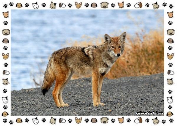 Виды-волков-от-древних-до-современных-25