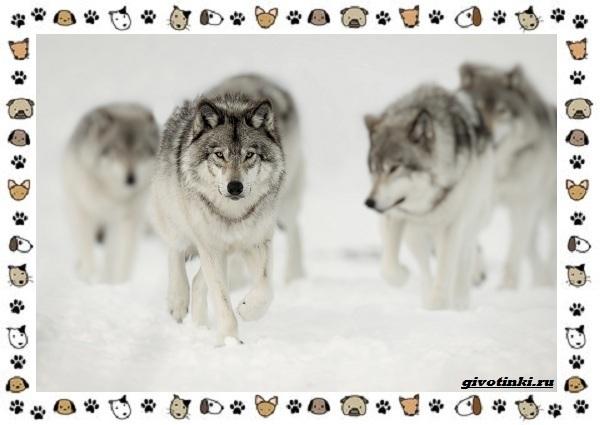 Виды-волков-от-древних-до-современных-27