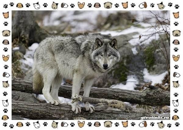 Виды-волков-от-древних-до-современных-4