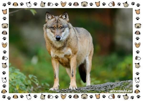 Виды-волков-от-древних-до-современных-5