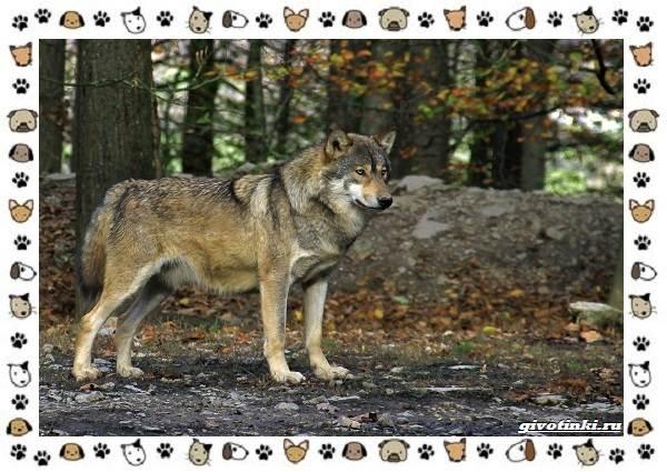 Виды-волков-от-древних-до-современных-6