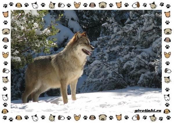 Виды-волков-от-древних-до-современных-7