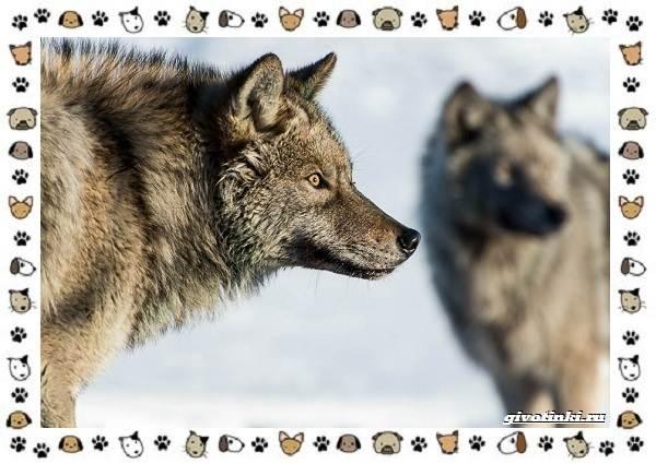 Виды-волков-от-древних-до-современных-8