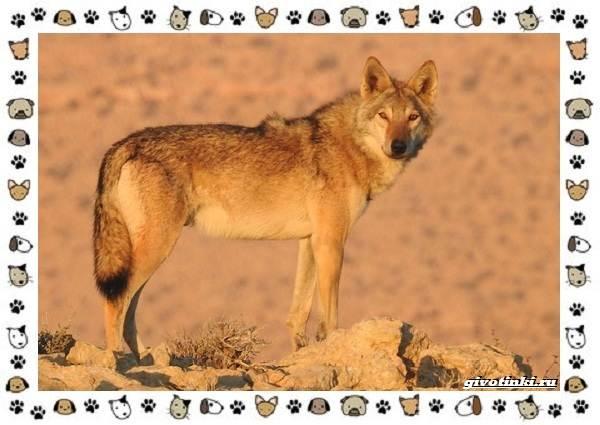Виды-волков-от-древних-до-современных-9