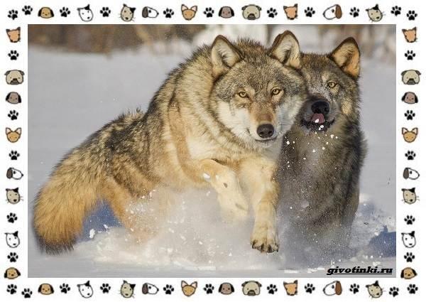 Виды-волков-от-древних-до-современных