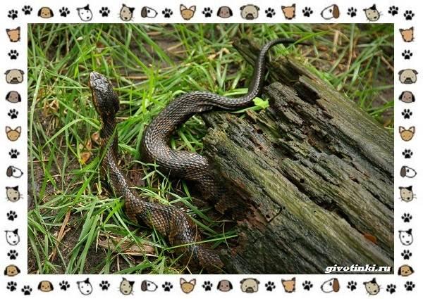 Виды-змей-описание-классификация-место-в-экосистеме-13