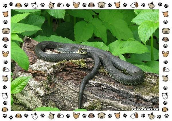 Виды-змей-описание-классификация-место-в-экосистеме-33