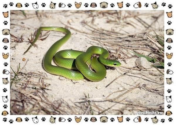 Виды-змей-описание-классификация-место-в-экосистеме-35