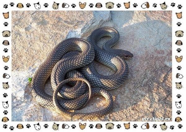 Виды-змей-описание-классификация-место-в-экосистеме-37