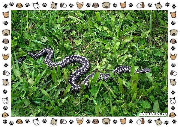 Виды-змей-описание-классификация-место-в-экосистеме-5