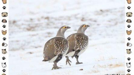 Алтайский улар: описание, особенности и среда обитания
