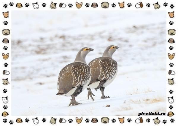 Алтайский-улар-описание-особенности-и-среда-обитания-1