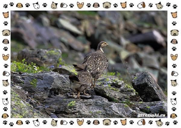 Алтайский-улар-описание-особенности-и-среда-обитания-10