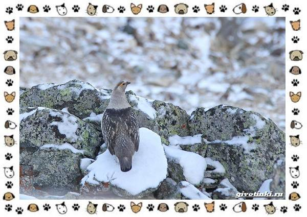 Алтайский-улар-описание-особенности-и-среда-обитания-5