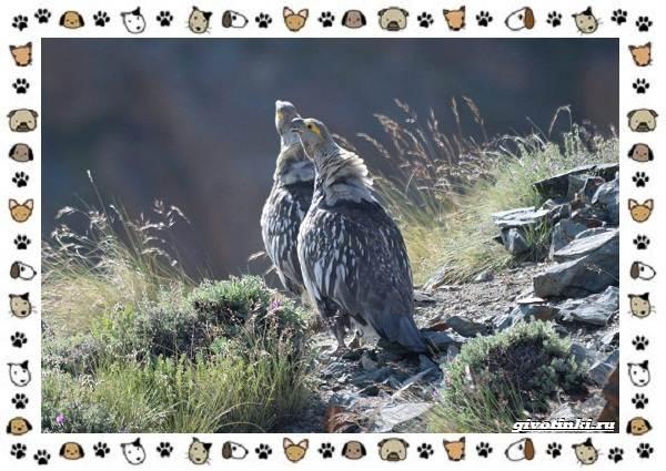 Алтайский-улар-описание-особенности-и-среда-обитания-6