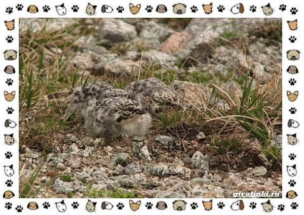 Алтайский-улар-описание-особенности-и-среда-обитания-9