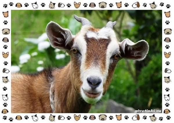 Безоаровый-козел-описание-особенности-и-среда-обитания-11