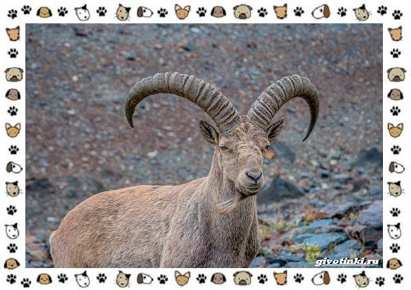 Безоаровый-козел-описание-особенности-и-среда-обитания-2