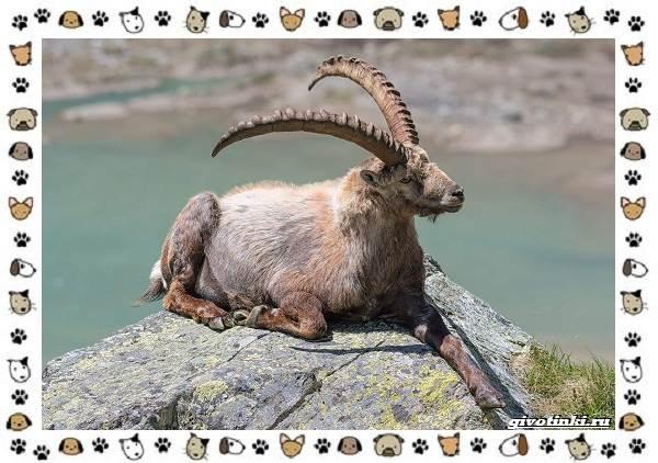 Безоаровый-козел-описание-особенности-и-среда-обитания-3