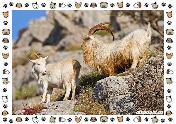 Безоаровый-козел-описание-особенности-и-среда-обитания-4