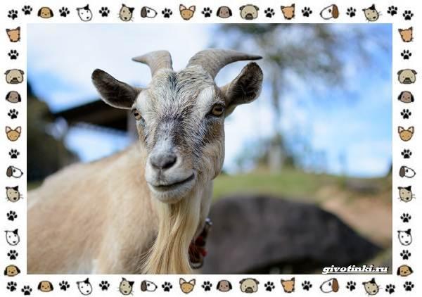 Безоаровый-козел-описание-особенности-и-среда-обитания-5