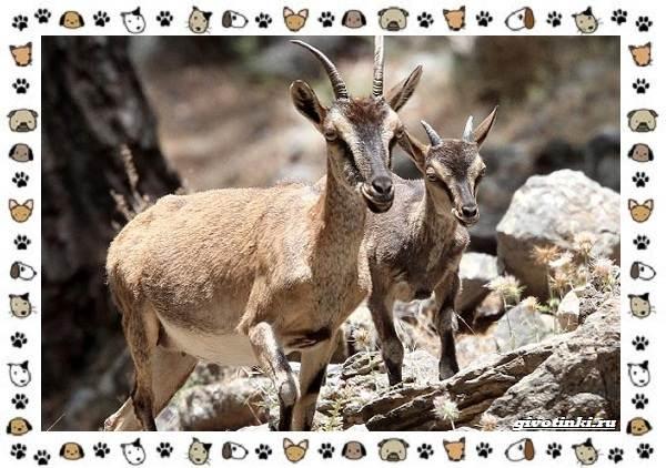 Безоаровый-козел-описание-особенности-и-среда-обитания-6