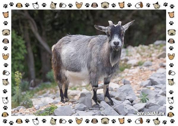Безоаровый-козел-описание-особенности-и-среда-обитания-7