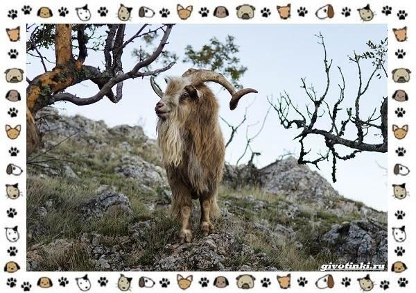 Безоаровый-козел-описание-особенности-и-среда-обитания-8