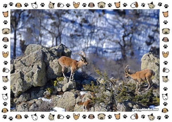 Безоаровый-козел-описание-особенности-и-среда-обитания-9