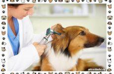 Глухота у собак: причины и лечение