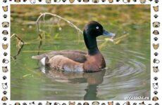 Нырок Бэра птица: описание, особенности и среда обитания
