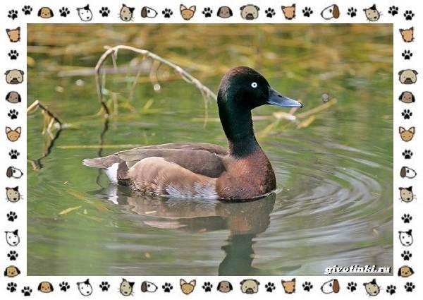 Нырок-Бэра-птица-описание-особенности-и-среда-обитания-1
