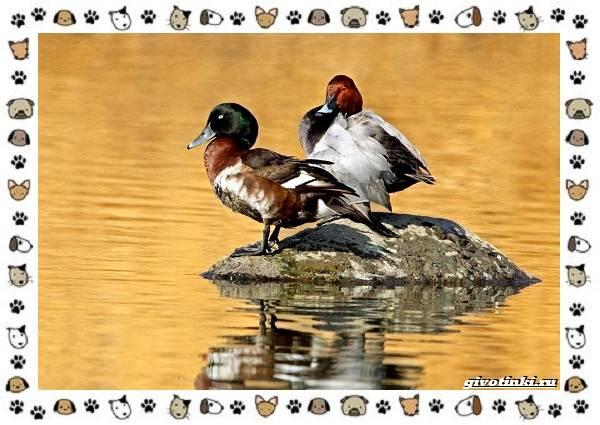 Нырок-Бэра-птица-описание-особенности-и-среда-обитания-2
