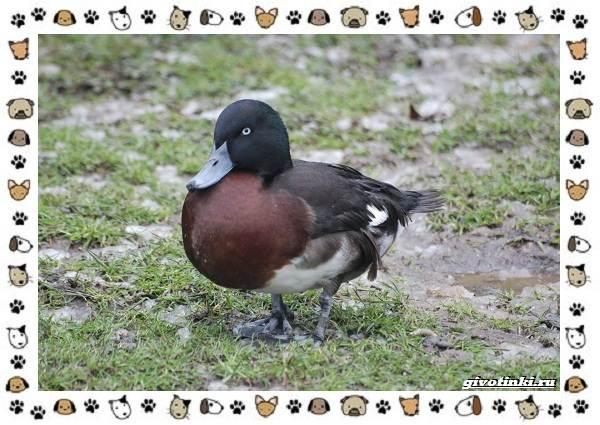 Нырок-Бэра-птица-описание-особенности-и-среда-обитания-5