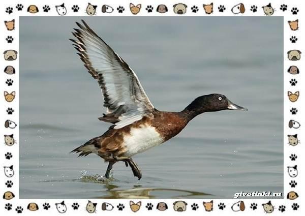 Нырок-Бэра-птица-описание-особенности-и-среда-обитания-6
