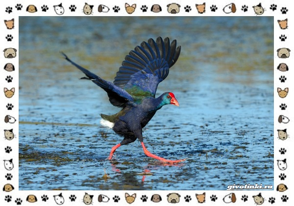 Птица-султанка-описание-особенности-и-среда-обитания-10