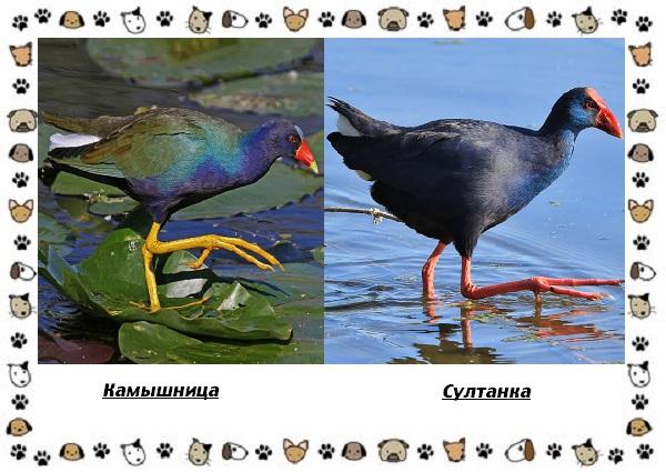 Птица-султанка-описание-особенности-и-среда-обитания-7