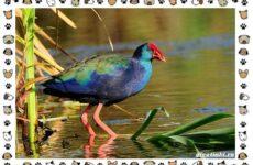 Птица султанка: описание, особенности и среда обитания