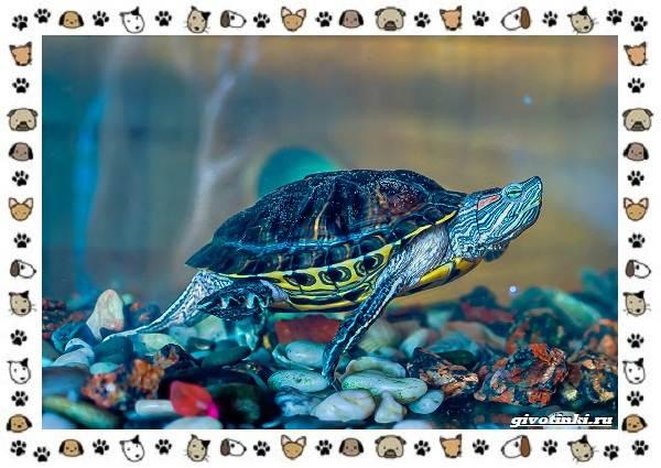 Виды-черепах-водных-и-сухопутных-15